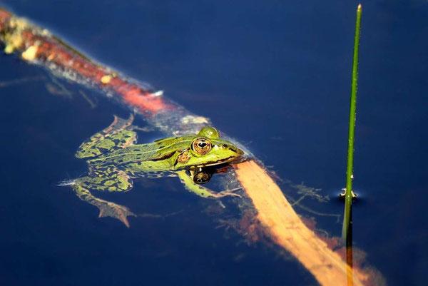 Der Frosch im Schnaackenmoor