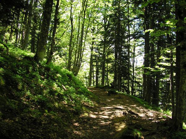 La splendide hêtraie-sapinière de la Forêt d'Anitch, à fouler délicatement avec les crampons...