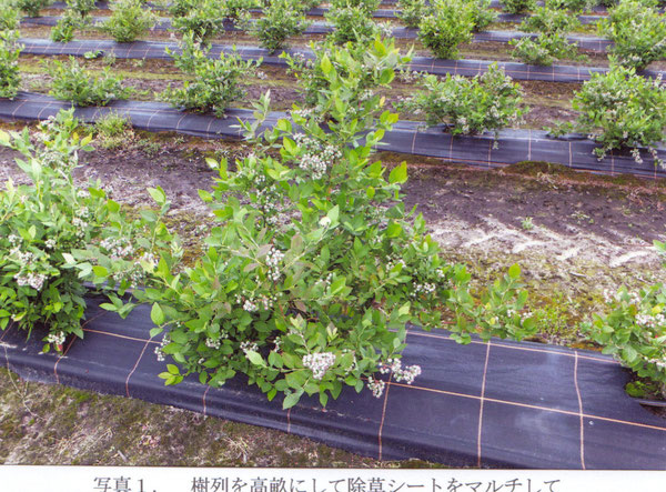 樹列を高畝にして除草シートをマルチしている園が多い(2012年6月、オランダ)