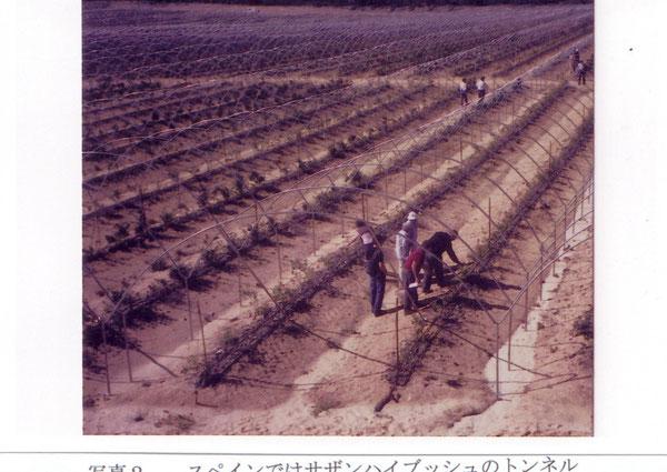スペインではサザンハイブッシュのトンネル栽培は一般的(大型の連棟で、樹列は2列、株元の両側に灌水チューブがある。2004年5月