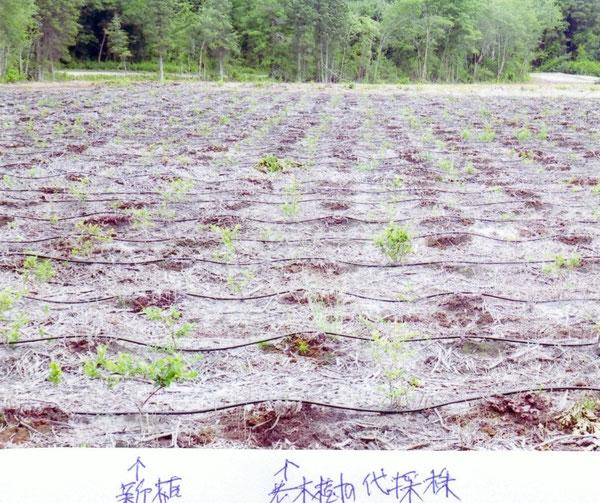 写真:アメリカ、ニュージャージー州ハモント市 老木樹を代採し、同一樹列の樹間内に新植