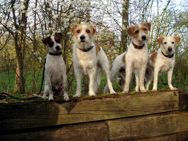 3 Kromfohrländer und ein Dansk Svensk Gardhund