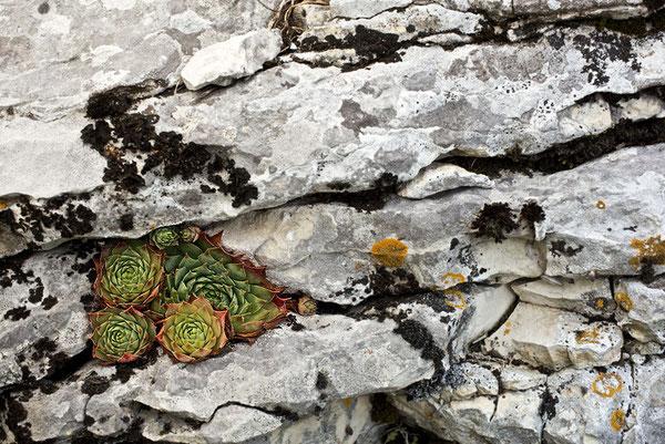 Sempervivum tectorum bei Spiazzi, am selben Standort und an demselben Gestein (Feuerstein?) wie die hier vorgestellten Sempervivum globiferum, 05.08.2011, in situ, Foto: Roberto Siniscalchi