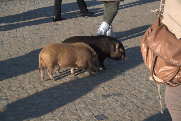 Die Minischweinchen von Zinnowitz ff.