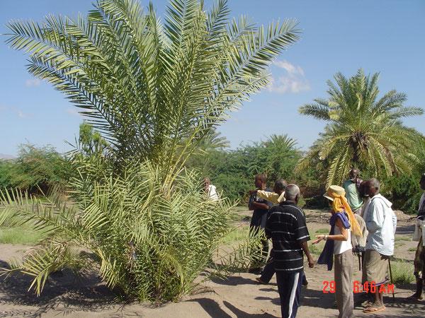 Palmiers non entretenus : rejets