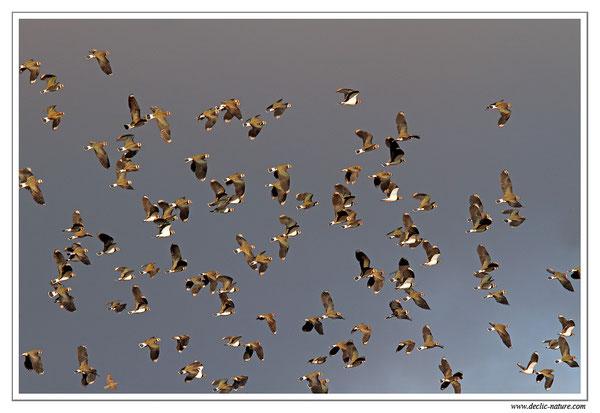 Vanneau huppé - Vanellus vanellus - Northern Lapwing (réf. PdM 2013_198)