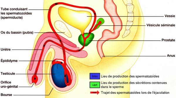 Appareil reproducteur de l'homme et trajet des spermatozoides.