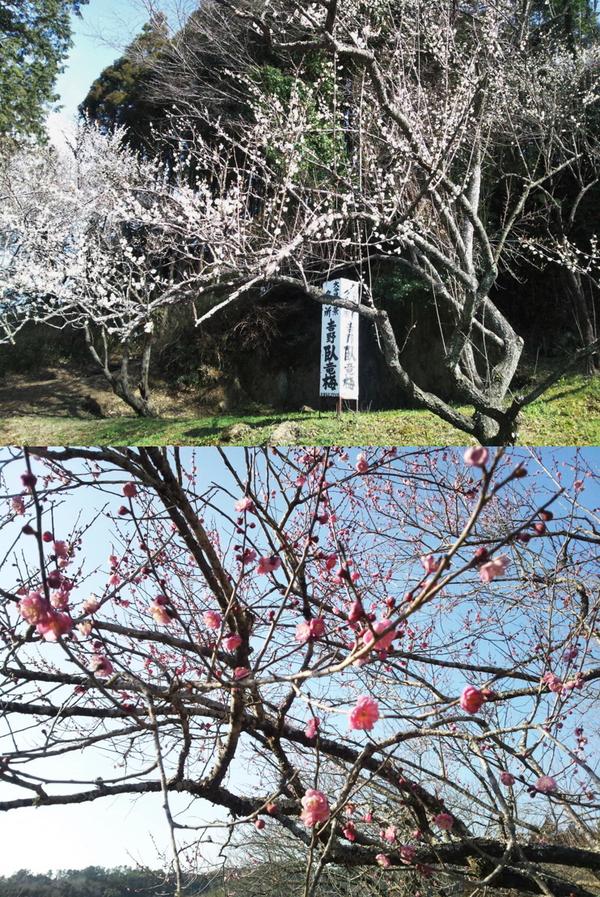 上:吉野梅園入口の白梅(2月14日撮影)。下:吉野梅園内の紅梅。全体的には2~3部咲きです。