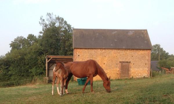 Selle français poulinière