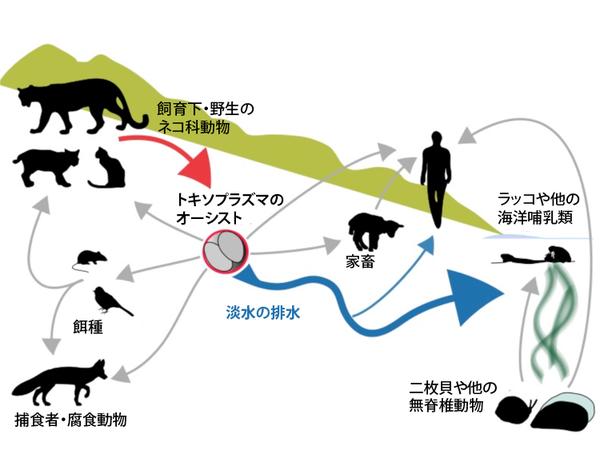 トキソプラズマの餌種からネコを経て海(もしくは人間や家畜)へ至る複雑な旅。オーキストはその移動の鍵となる。