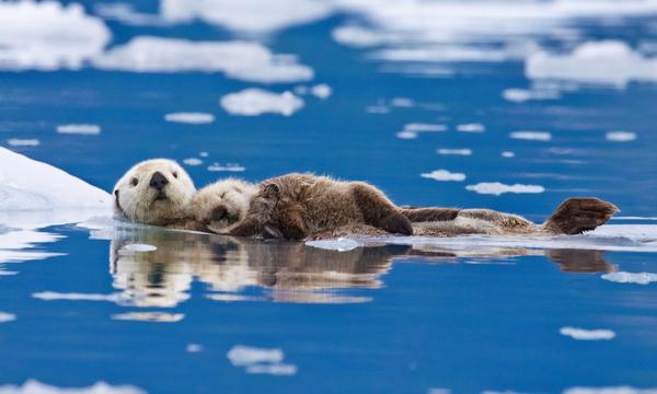 胸に子どもを抱える母親ラッコ。アラスカにて。写真: Roman Golubenko/Solent News/REX