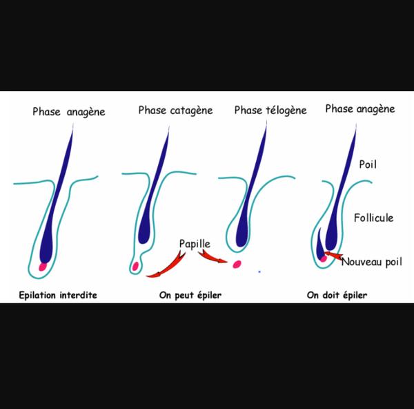 Schéma de pousse du poil
