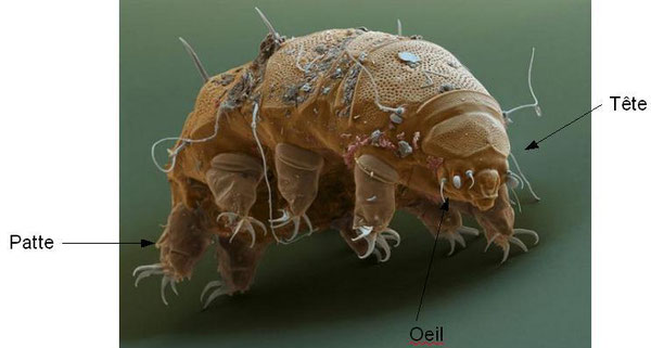 Tardigrade (Source: Photo city).