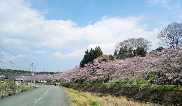 三重町で3月29日のさくらロードレースが行われた時の三重川の様子です(^^)。