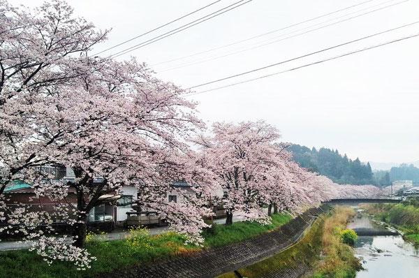 右端の四角い建物が当院です。桜が満開の三重町です (^^)。