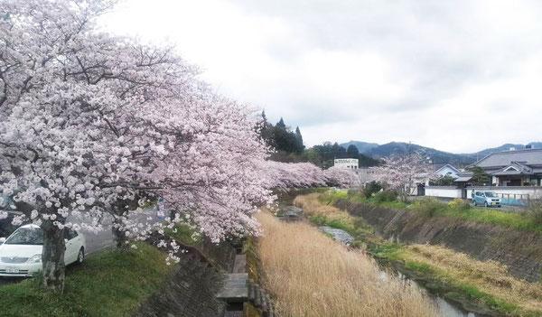 三重川沿いの桜並木の中央遠景に、みえ記念病院が見えます。(クリックすると拡大します)