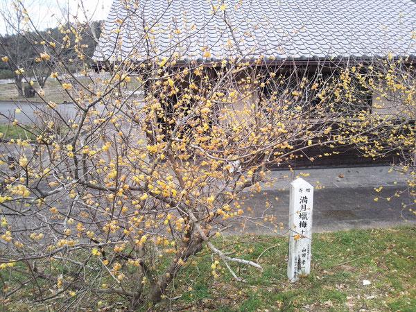2017年2月11日に撮影した吉野梅園の満月蠟梅です。紅梅や白梅を含めて梅園自体はまだ1~2部咲きでした。