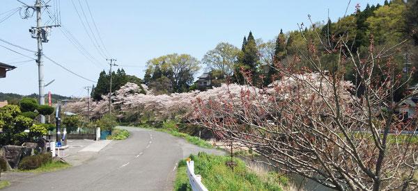 4月14日(金)に撮影した、当院側の三重川の風景です。ソメイヨシノの桜の花が満開から桜吹雪が散る時期になった一方で、手前の八重桜の花が咲き始めていました。