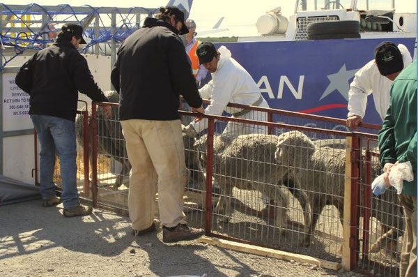 On way to Ecuador – Chilean Magellan sheep.