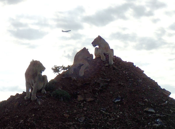 Nairobi National Park lions watching an LH Cargo MD-11F en route to Kenyatta International  /  courtesy Cornelia Garmann