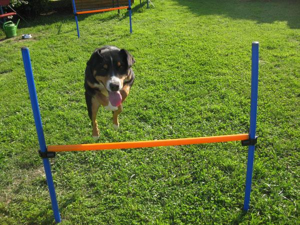 Appenzeller Sennenhund Agility