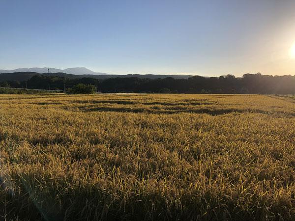 佐久の田んぼ。遠くに蓼科山。