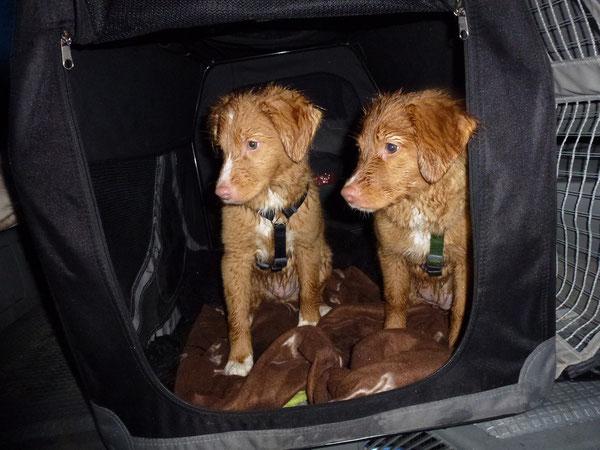 Brave Hunde in der Box