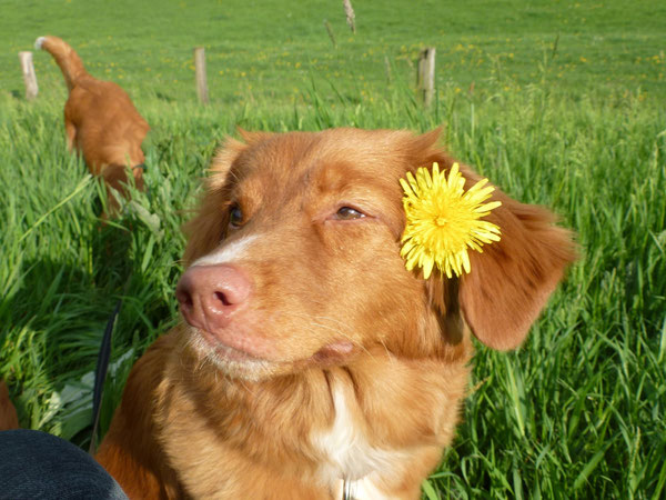 Nova Scotia Duck Tolling Retriever Hündin Nita