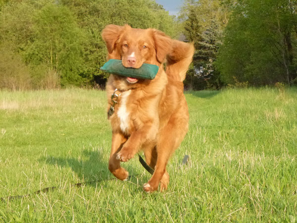 Nova Scotia Duck Tolling Retriever Hündin Nita beim Dummy Training