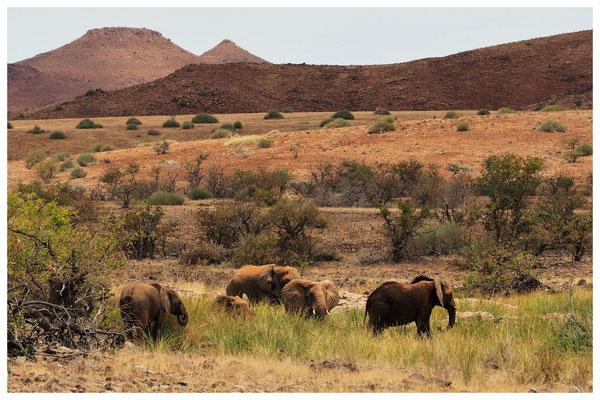 Eléphant du désert de Namibie