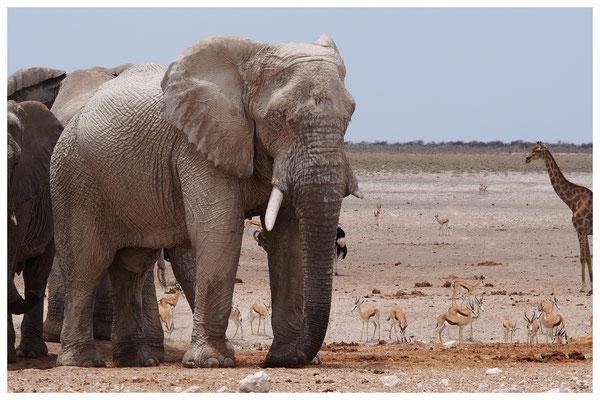 Eléphant des savanes de Namibie