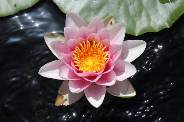 Seerose/Water lily, Rottenburg, Germany, 09.06.2014, Canon EOS 550d. Foto: Eleonore Schindler von Wallenstern.