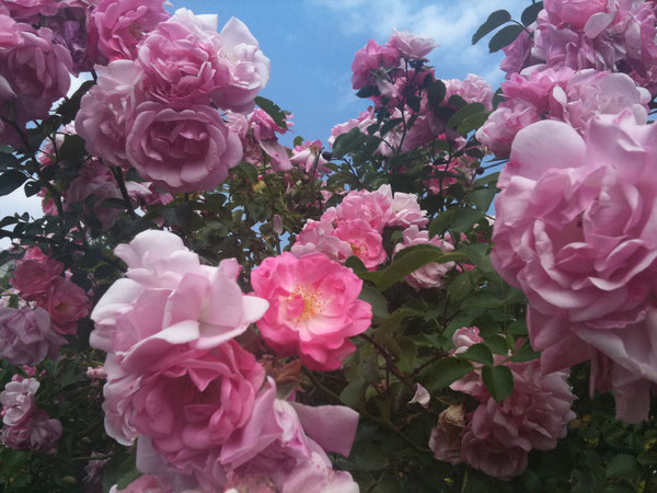 Rosen/Roses, Rottenburg, Germany, 30.06.2010. Foto: Eleonore Schindler von Wallenstern.