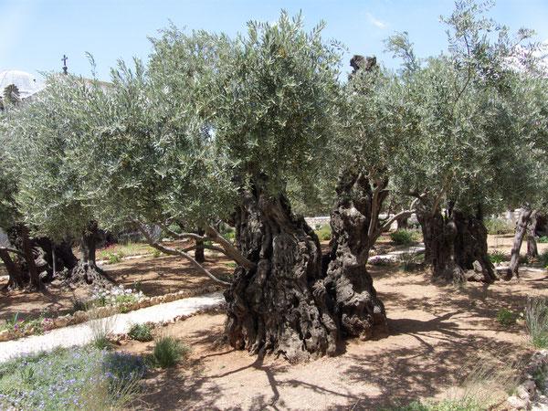 Gethsemani Garten/Garden, Mount of Olives, Jerusalem, 29.05.2010, Lumix Fz18. Foto: Eleonore Schindler von Wallenstern.