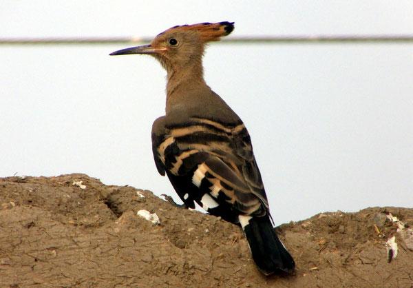 Wiedehopf/Hoopoo, Qurna, Ägypten/Egypt, 17.04.2010, Lumix Fz18, Foto: Eleonore Schindler von Wallenstern.