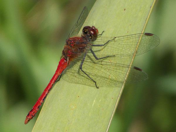 Libelle/Dragonfly, Rottenburg, Germany, 20.08.2014, Lumix Fz 18. Foto: Eleonore Schindler von Wallenstern.