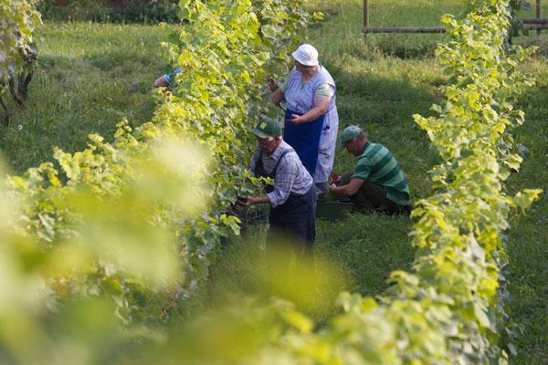 """""""Arbeit im Weinberg"""", Wendelsheim b. Rottenburg, 18.09.2014, Canon EOS 550d. Foto: Eleonore Schindler von Wallenstern."""
