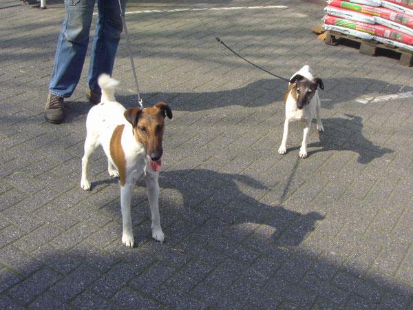DER Boss mit seinen Wachhunden 2 schöne Foxterrier