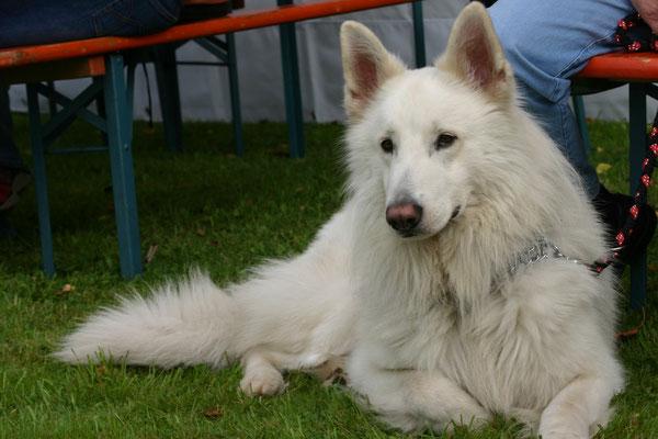 Timo - weißer Schäferhund