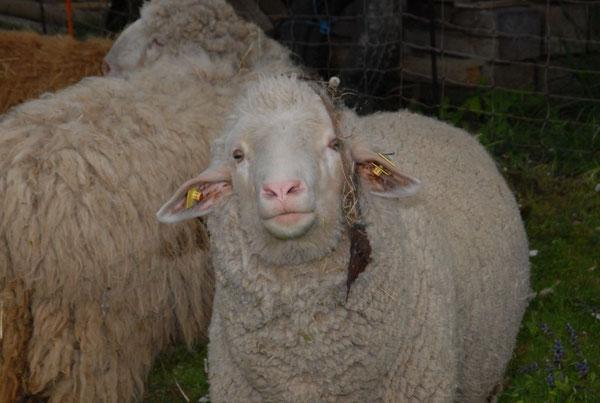 Poldi wurde 3 Jahre alt. Er wurde von mir mit der Flasche aufgezogen. Er war ein sehr schlaues Schaf.Eines Tages lag er ohne vorher krank gewesen zu sein Tod auf der Weide. Es kannst du springen und Gras fressen soviel du willst.