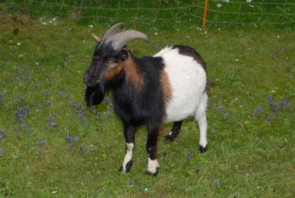 Thor unser stattlicher Ziegenbock wurde leider nur drei Jahre. Er starb an Parasiten die zu spät erkannt wurden.