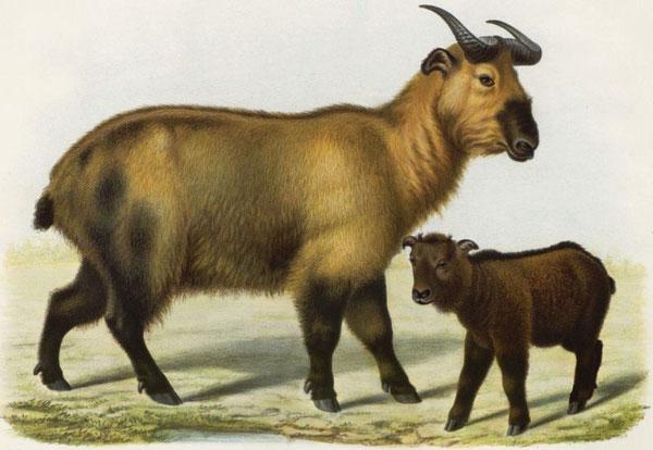 Budorcas taxicola tibetana. Un mâle adulte et un jeune provenant des montagnes du Thibet oriental.