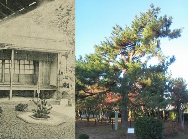 写真左:明治40年11月に、大分市の府内城の庭園に植えられた嘉仁親王御手植の松(行啓寫眞帖 所収)、写真右:明治40年5月に鳥取県米子市に植えられて、今も保存されている嘉仁親王御手植の松