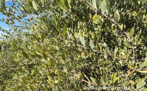 ♔ 原種ホホバ JOJOBA ORIGINAL SPECIES 蜜蜂 於: 原種ホホバの聖地、アリゾナ州ハクアハラヴァレー