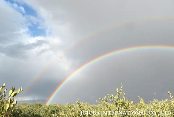 ♔ 原種ホホバ JOJOBA ORIGINAL SPECIES 虹 於: 原種ホホバの聖地、アリゾナ州ハクアハラヴァレー