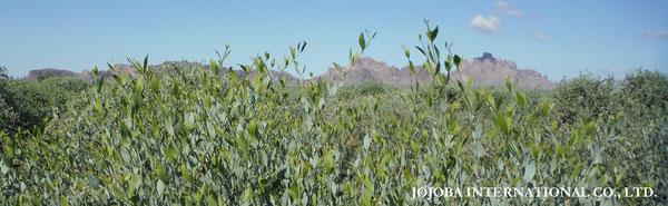♔ 原種ホホバの聖地 アリゾナ州ハクアハラヴァレー