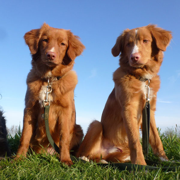 Nova Scotia Duck Tolling Retriever Nita und Sitka,  6,5 Monate alt