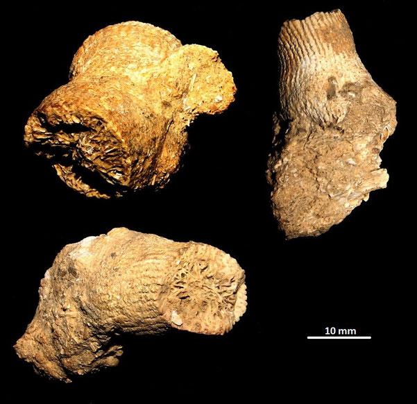 Dendrophyllia cfr. cornigera, Pliocene di Chiusi-Chianciano Terme (GR)