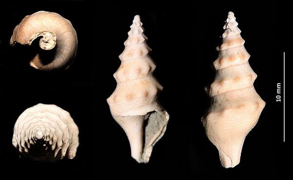 Turricula coquandi, Quattro Castella (RE), Pliocene