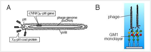 図1 本研究で用いる技術。  (A) ファージ提示ペプチドライブラリー。 (B) GM1単分子膜とファージとの相互作用。